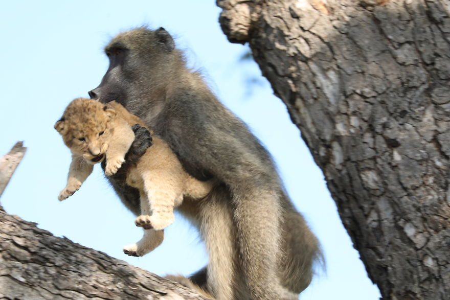 Baboon-steals-lion-cub-and-recreates-iconic-The-Lion-King-scene-5e3a1f7e7c511__880