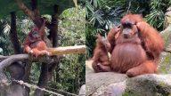 Orangotango Oculos