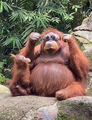 Orangotango Oculos5